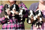 Featured Breeder of Goldadors with Puppies For Sale