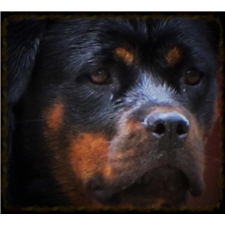 View full profile for Yonatan Rottweilers
