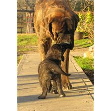 View full profile for Mastiffs Of Middle Earth