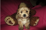 Featured Breeder of Morkie Yorkteses with Puppies For Sale