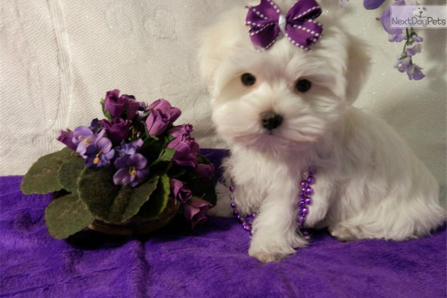 Meet Female a cute Maltese puppy for sale for $1,000. HANNA
