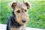 Picture of Adorable Female Welsh Terrier Trained Puppy