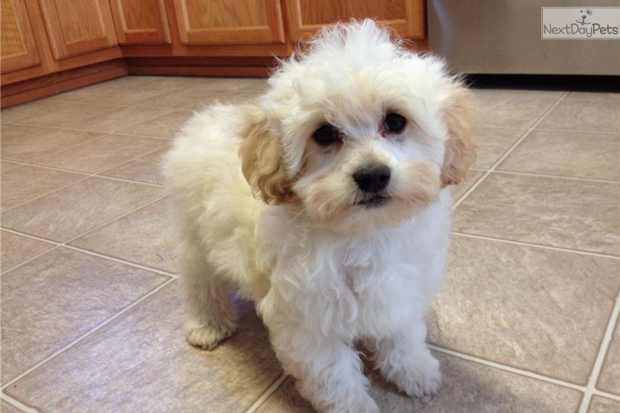 Pekepoo Puppy For Sale Near Wilmington North Carolina