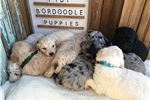 Picture of Stunning litter of F1B1 Bordoodles!!!