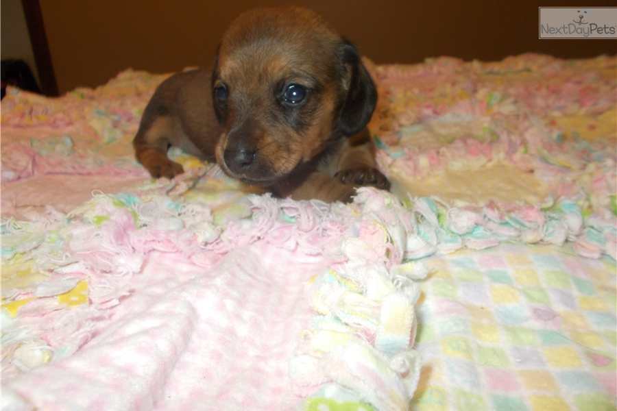 Janet: Dachshund, Mini puppy for sale near Southern Illinois