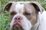 Picture of Champion dam produced Olde English Bulldogs