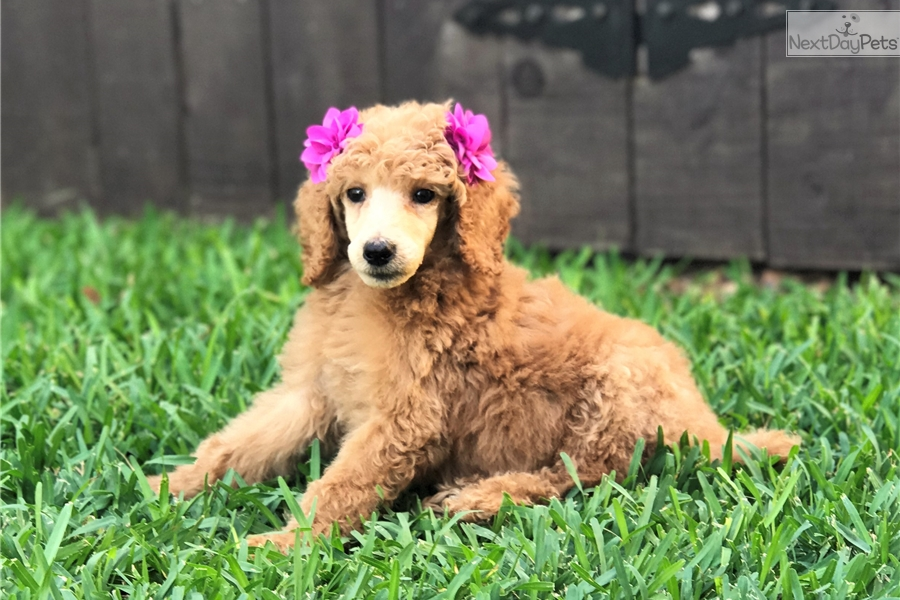 Summer Poodle Standard Puppy For Sale Near San Antonio Texas