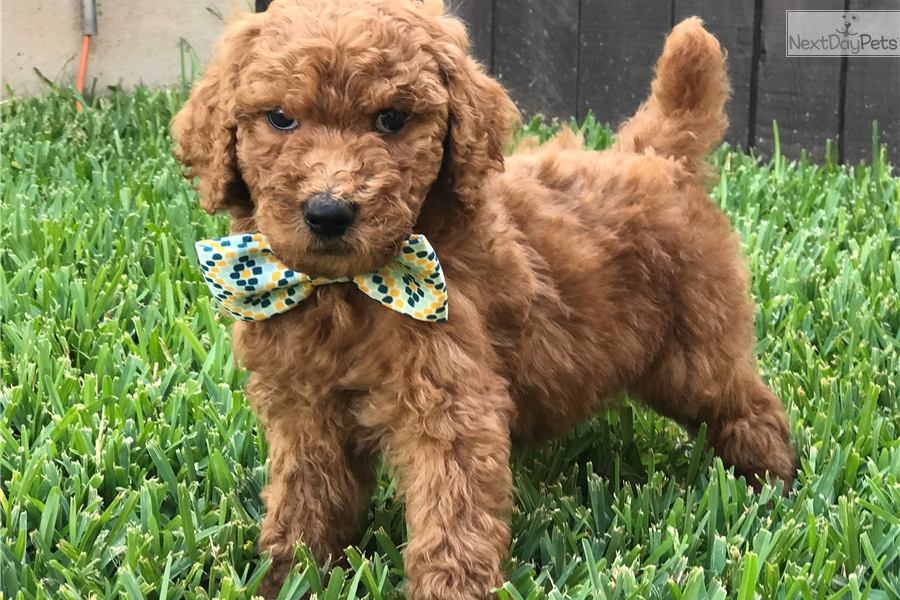Lucky Poodle Standard Puppy For Sale Near San Antonio Texas