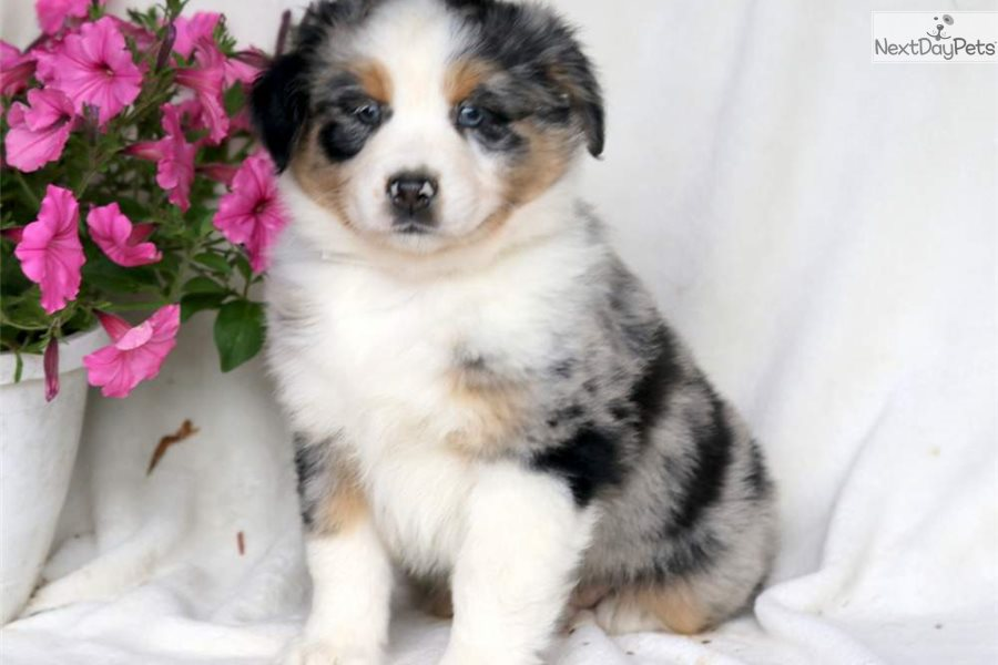 Buttercup: Australian Shepherd puppy for sale near Lancaster