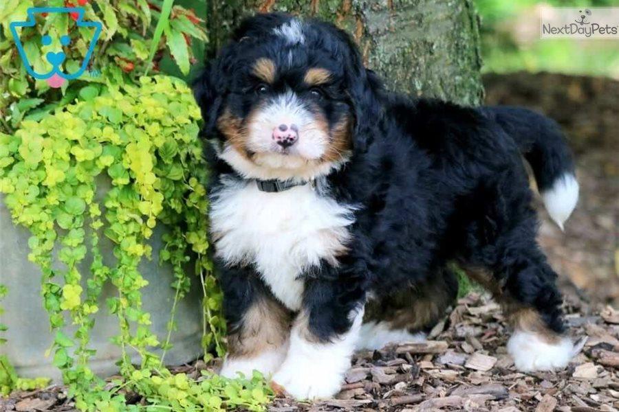 Jasper Bernedoodle Puppy For Sale Near Lancaster