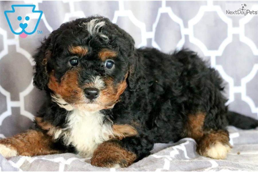 Kibble Bernedoodle Puppy For Sale Near Lancaster
