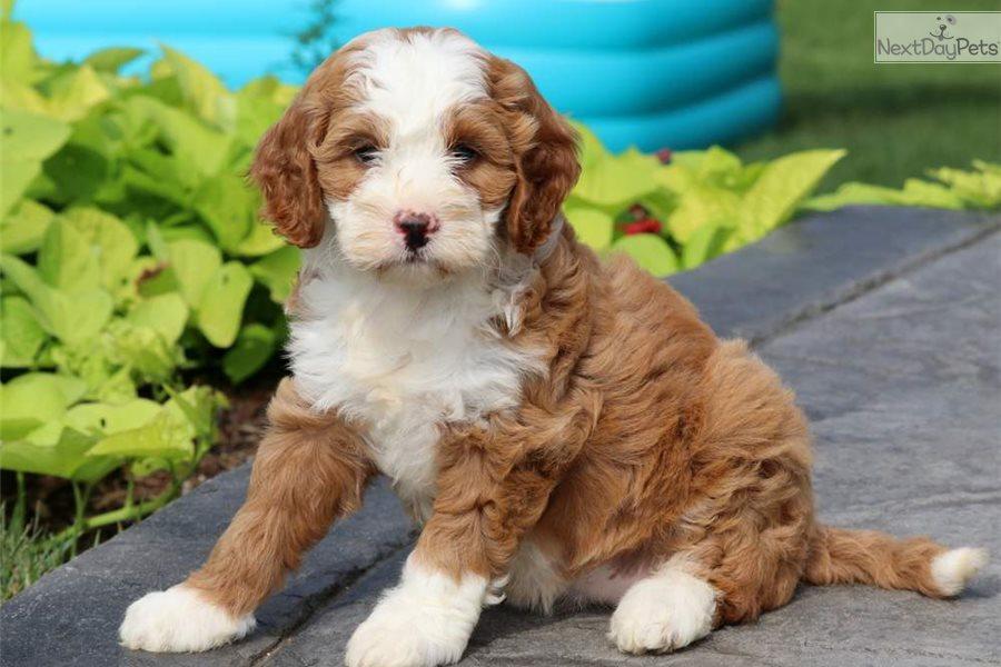 Cinderella Bernedoodle Puppy For Sale Near Lancaster