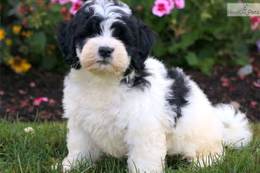Dandy Bernedoodle Puppy For Sale Near Lancaster