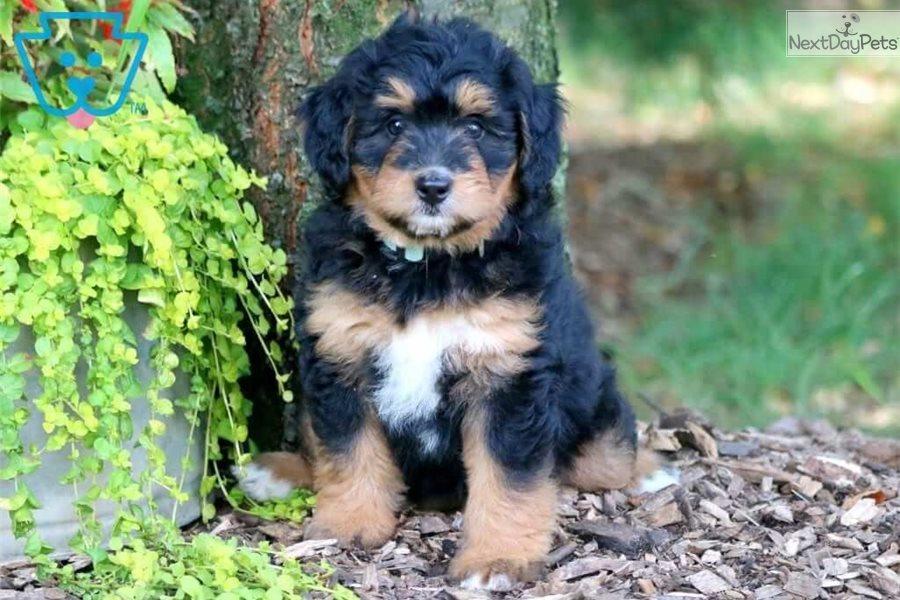 Josie Bernedoodle Puppy For Sale Near Lancaster