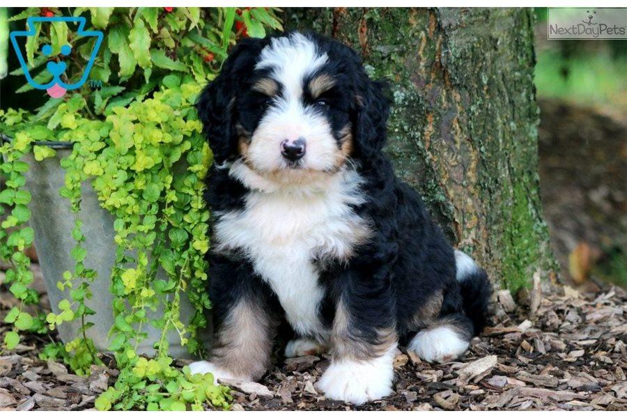 Jumper Bernedoodle Puppy For Sale Near Lancaster
