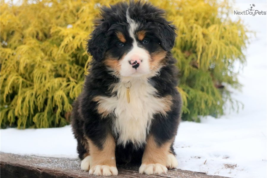 Archie Bernese Mountain Dog Puppy For Sale Near Lancaster