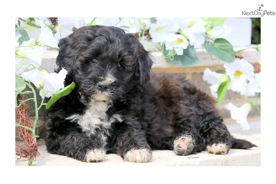 Muffin Bernese Mountain Dog Puppy For Sale Near Lancaster