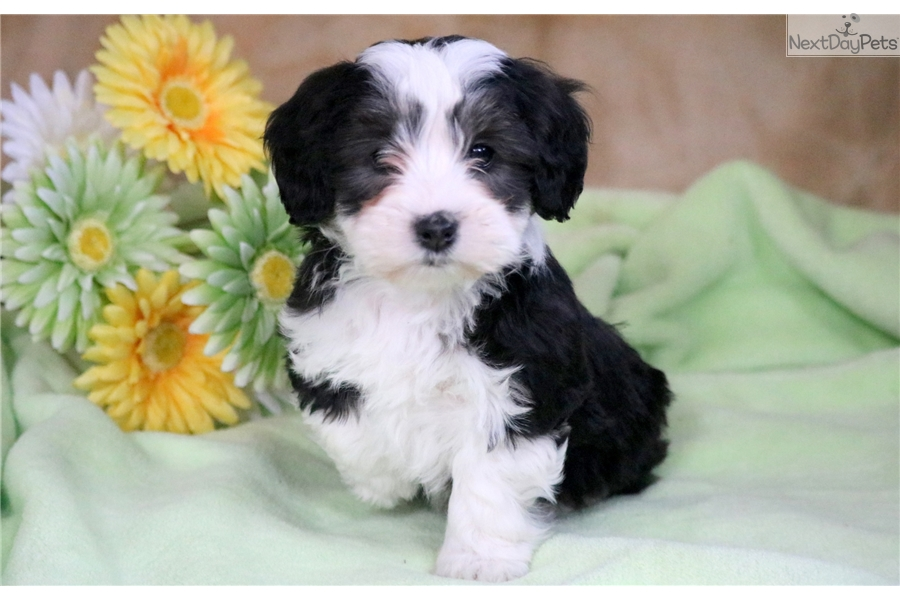 Macky Bernese Mountain Dog Puppy For Sale Near Lancaster