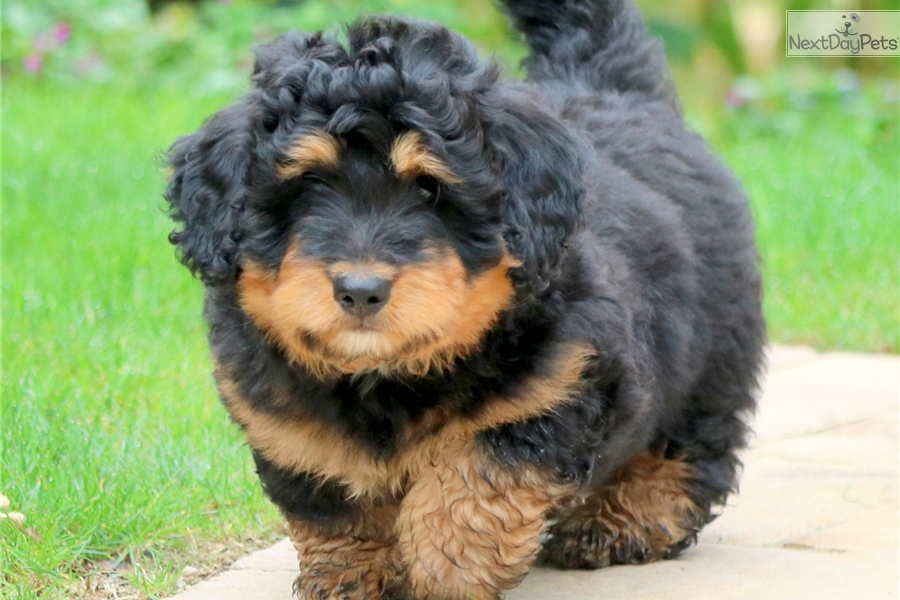 Bernese Mountain Dog Puppy For Sale Near Lancaster