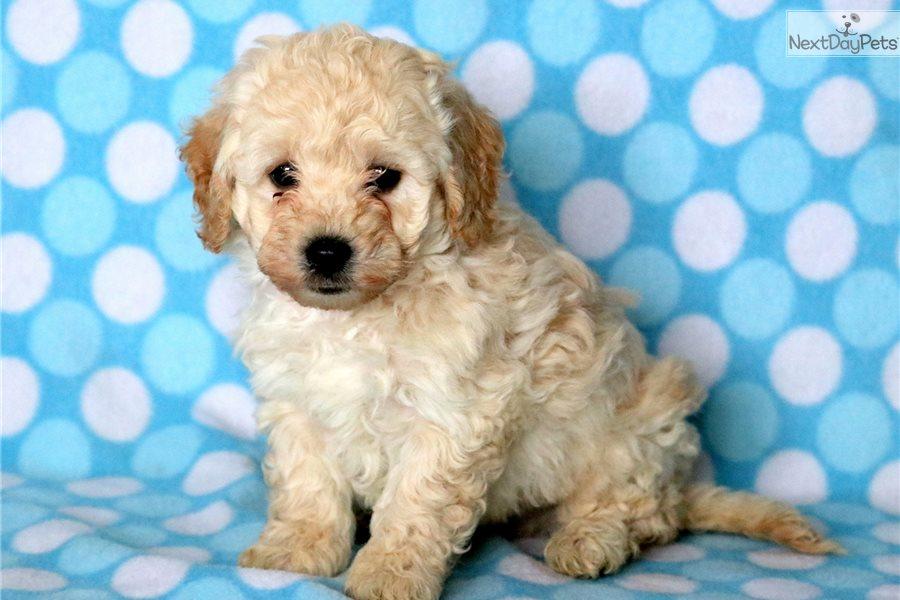 Hank: Bich-Poo - Bichpoo puppy for sale near Lancaster