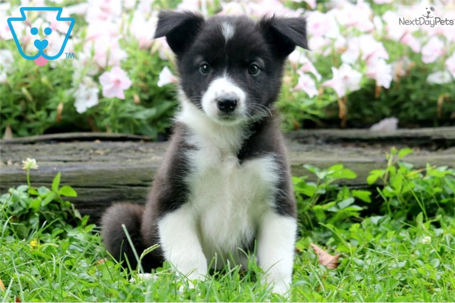 Funny Border Collie Mix Puppies For Sale Near Me
