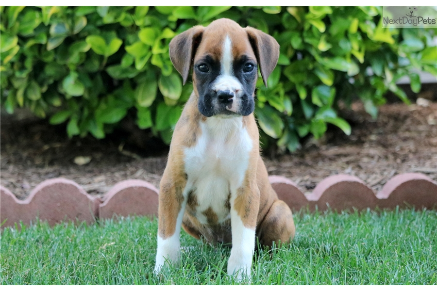 Panther Boxer Puppy For Sale Near Lancaster Pennsylvania