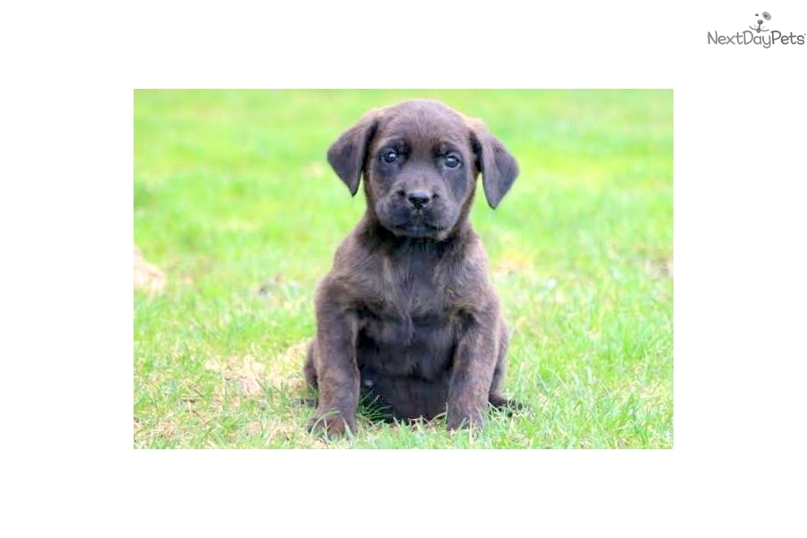 Ople Cane Corso Mastiff Puppy For Sale Near Lancaster Pennsylvania
