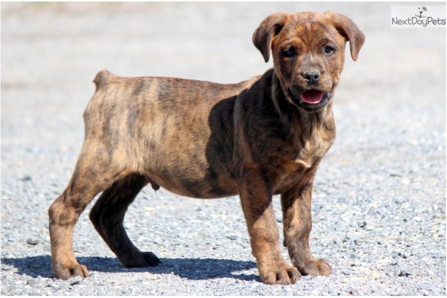 Oscar Cane Corso Mastiff Puppy For Sale Near Lancaster