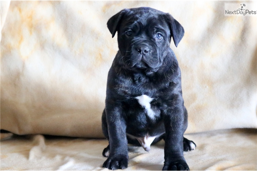 Panther Cane Corso Mastiff Puppy For Sale Near Lancaster