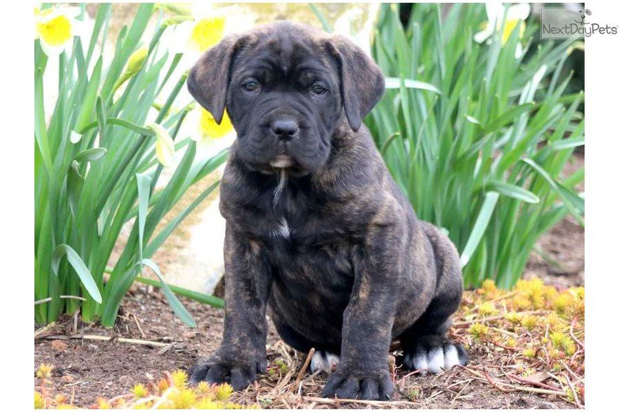 Harmony | Cane Corso Puppy For Sale | Keystone Puppies