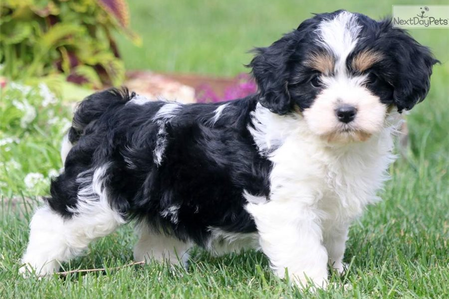 Twila: Cavachon puppy for sale near Lancaster, Pennsylvania