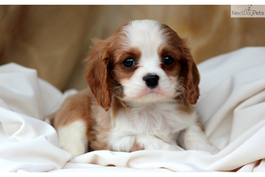 4 6 Year Male Cavalier King Charles Spaniel: Cavalier King Charles Spaniel Puppy For Sale Near