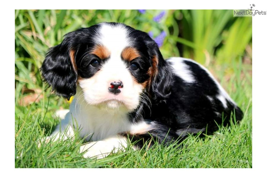 Charles Cavalier King Charles Spaniel Puppy For Sale Near Lancaster