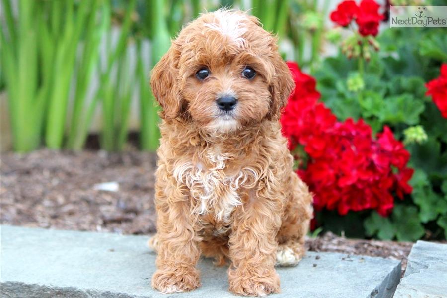 Baxter Cavapoo Puppy For Sale Near Lancaster Pennsylvania