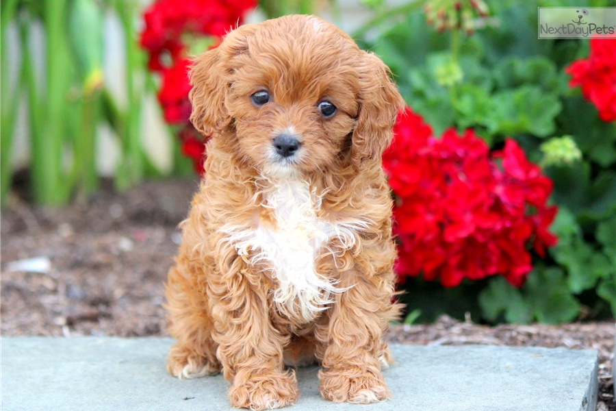Beauty Cavapoo Puppy For Sale Near Lancaster Pennsylvania