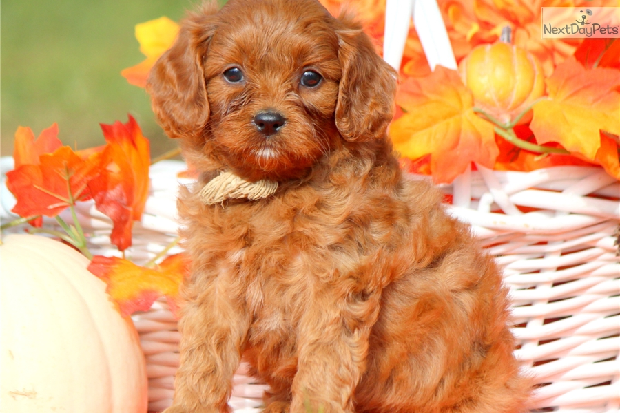 Ginger Cavapoo Puppy For Sale Near Lancaster