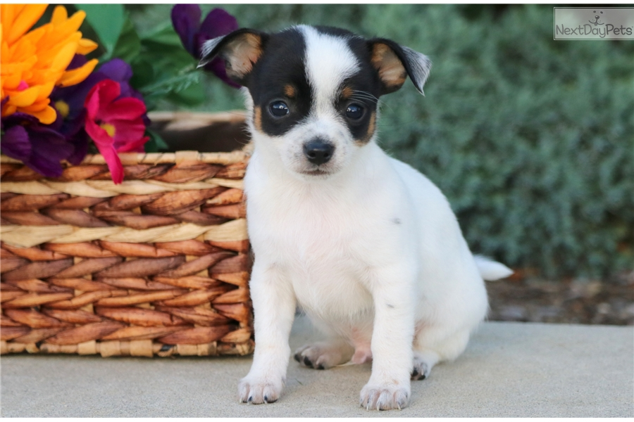 Teddy Chihuahua Puppy For Sale Near Lancaster Pennsylvania