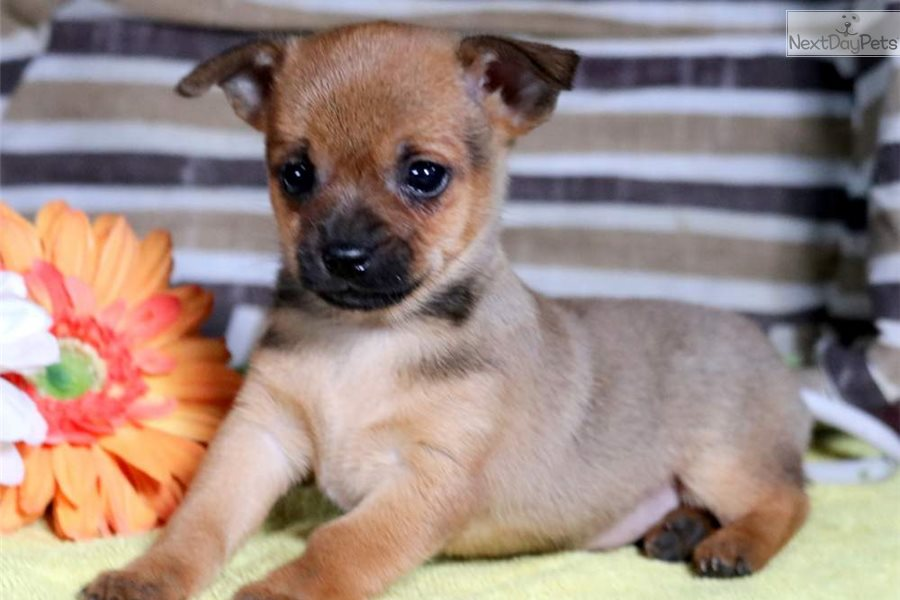 Mike Chihuahua Puppy For Sale Near Lancaster Pennsylvania