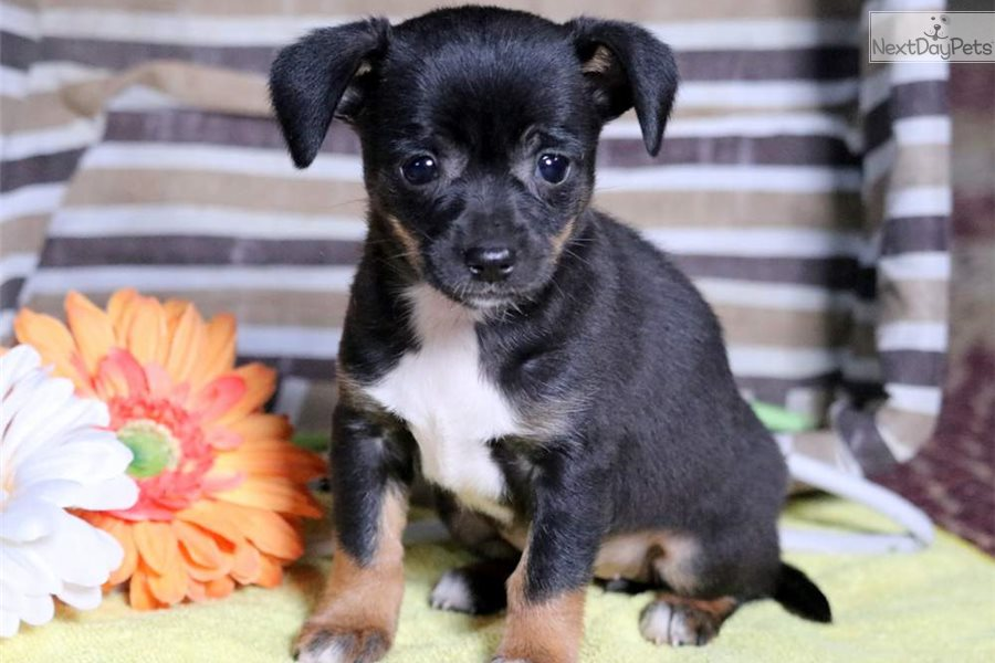 Mickey Chihuahua Puppy For Sale Near Lancaster Pennsylvania
