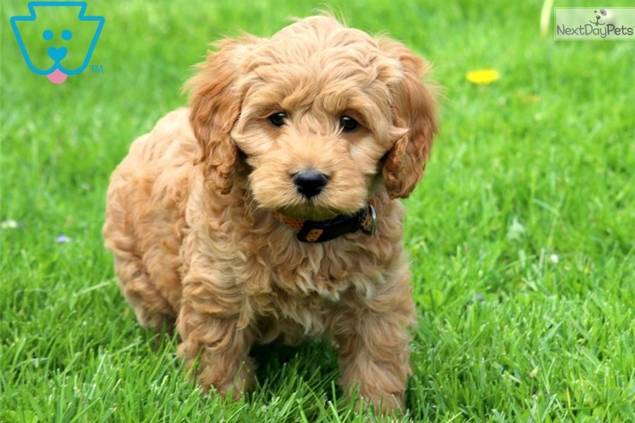 Lance: Cockapoo puppy for sale near Lancaster, Pennsylvania