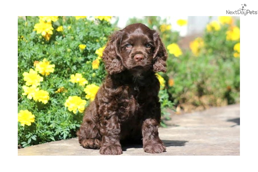 cocker spaniel for sale near me cocker spaniel puppy for sale near lancaster pennsylvania 1798