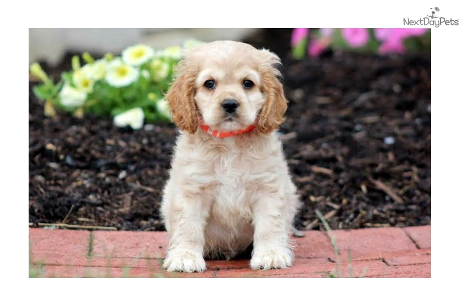 cocker spaniel for sale near me cocker spaniel puppy for sale near lancaster pennsylvania 5425