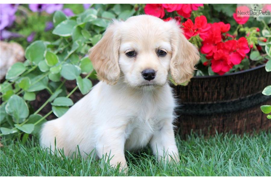 Sophia Cocker Spaniel Puppy For Sale Near Lancaster Pennsylvania