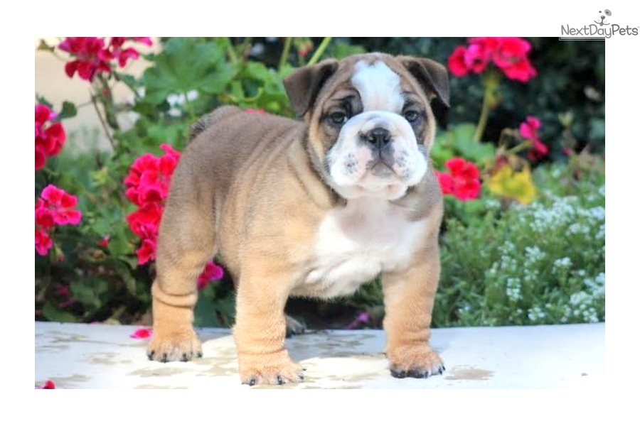english bulldog without papers for sale In the category dogs & puppies for english bulldog puppies for sale without papers sale canada you can find english bulldog puppies for sale without papers more.