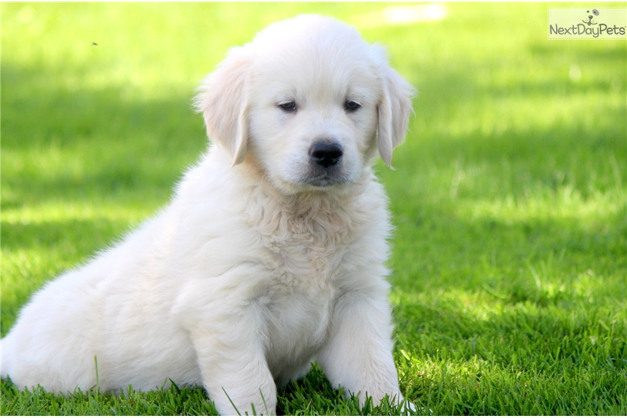 Leo English Golden Retriever Puppy For Sale Near Lancaster