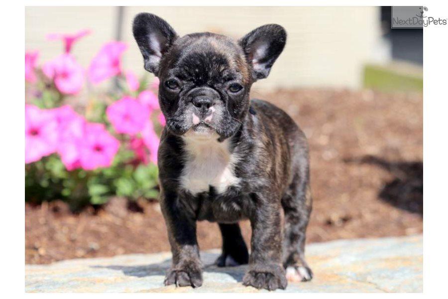 Baby French Bulldog Puppy For Sale Near Lancaster Pennsylvania