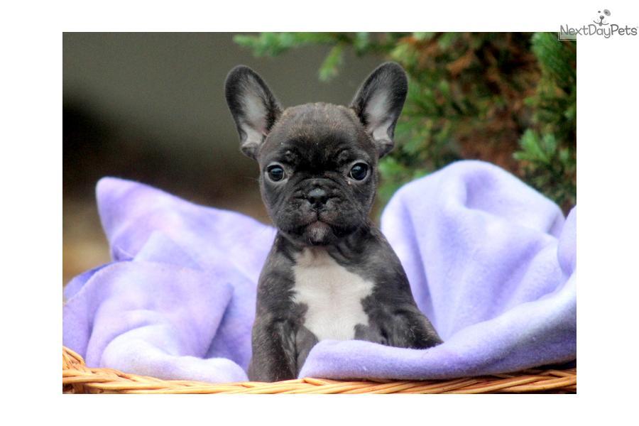 French Bulldog Puppy For Sale Near Lancaster Pennsylvania C9583255 9e61