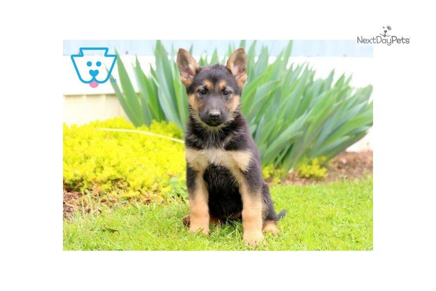 Trixi: German Shepherd puppy for sale near Lancaster