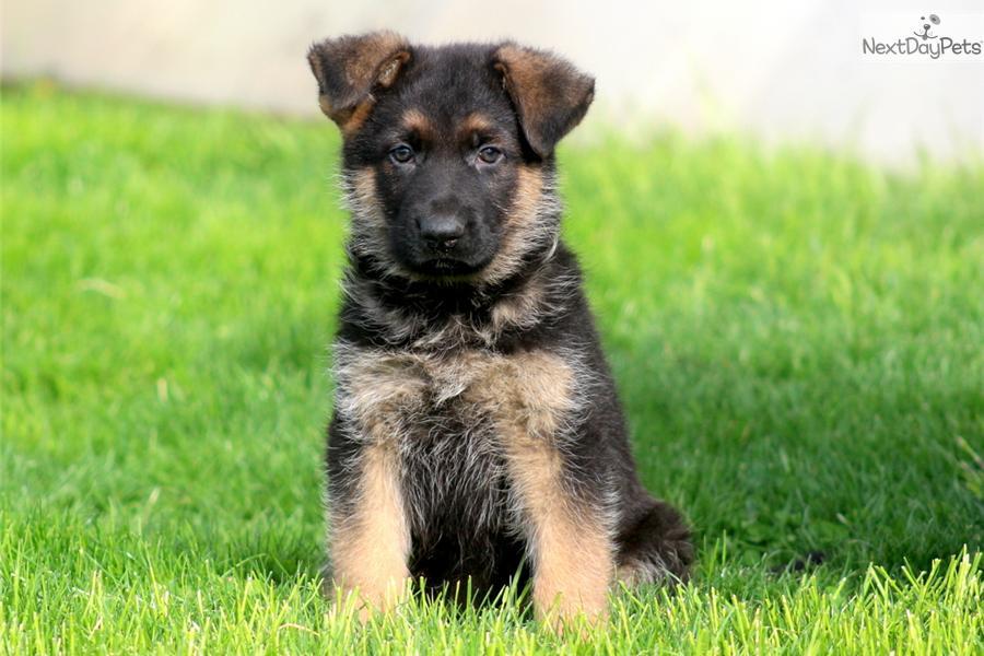 German Shepherd pu...