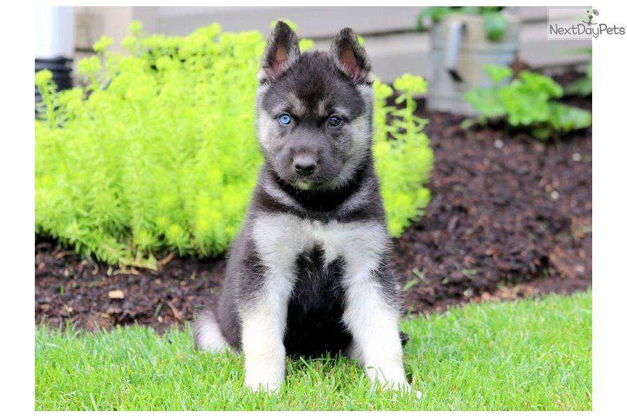 Archie German Shepherd Puppy For Sale Near Lancaster Pennsylvania